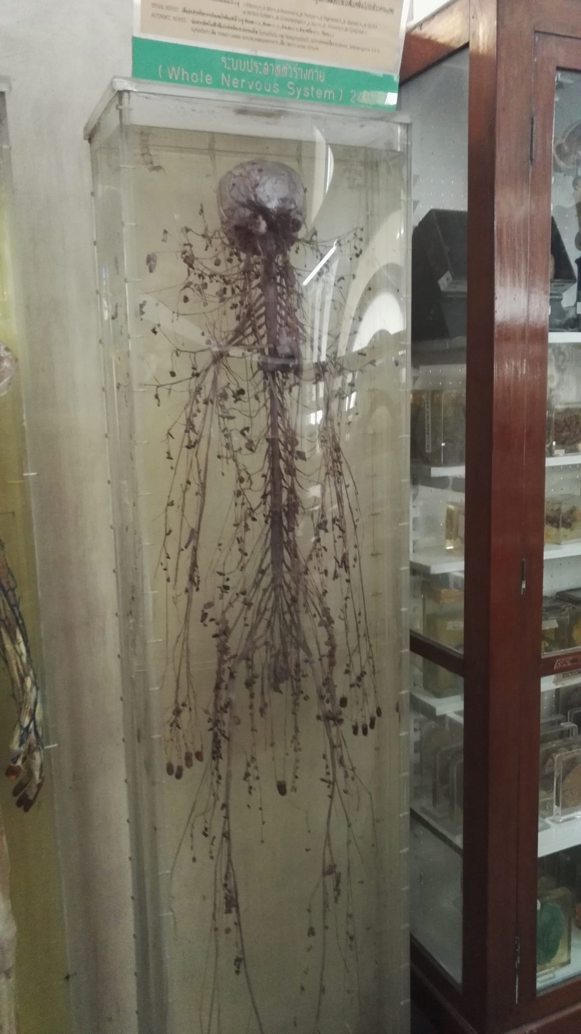Central nervous system at the Anatomy Museum